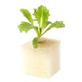 Baby of fily iceberg  lettuce Stock Photography