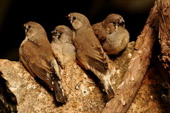 Baby Finches Stock Photos