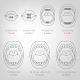 Baby First Teeth Chart. Vector illustration in outlines in grey colours on a light grey background with eruption time information. Medical and healthcare Royalty Free Stock Image