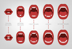 Baby First Teeth Chart Stock Photo