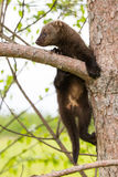 Baby fisher climbing up a aspen tree Stock Photo