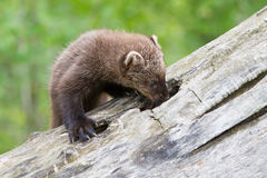Baby fisher exploring hole in log. In springtime Royalty Free Stock Photography