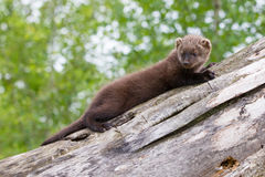 Baby fisher laying on a log royalty free stock photo