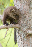 Baby fisher looking down from tree. In springtime Stock Photo