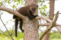 Baby fisher resting in tree Stock Photos