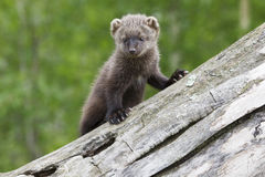 Baby Fisher. Young cute baby fisher standing on log Royalty Free Stock Images