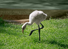 Baby Flamingo Stock Image