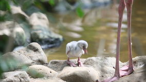 Baby flamingo stock video footage