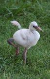 Baby Flamingo II Stock Photos