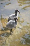 Baby Flamingos. A pair of baby flamingos in the water Royalty Free Stock Images