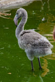 Baby flamongo. Fuzzy baby flamingo with serious gaze staying in water Stock Photos