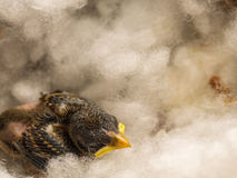 Baby Flapper Bird Sleeping Stock Image