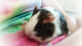 Baby fluffy Guinea pig. A close up view of a cute fluffy baby Guinea pig stock photography