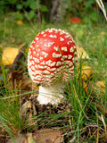 Baby Fly-agaric Royalty Free Stock Photo