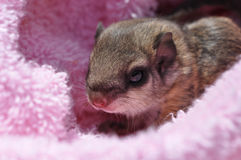 Baby flying squirrel. Closeup of a single baby flying squirrel (Pteromyini or Petauristini) nestled in pink stock photos