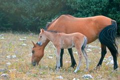 Baby Foal Colt Wild Horse with his mother in the Pryor Mountains Wild Horse Range on the border of Wyoming and Montana USA Stock Images