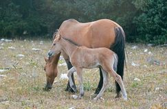 Free Baby Foal Colt Wild Horse With His Mother In The Pryor Mountains Wild Horse Range On The Border Of Wyoming And Montana USA Stock Photography - 100610132