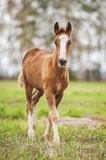 Baby foal of draught horse Stock Photo