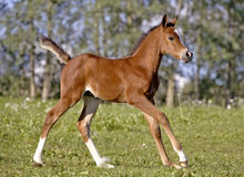 Arabian Foal playing Royalty Free Stock Photo