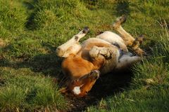 Baby foal rolling and playing stock photo