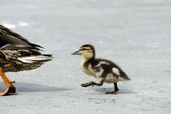 Baby Follow Mom. Baby mallard duck walking along behind it's mother