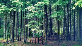 Baby forest. Yong forest on a tree farm royalty free stock photography