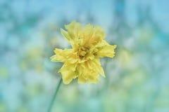 ` Baby - foto van de de kaartvoorraad van HDR van de poppen` de Hybride Gele narcis door ZDS stock foto's