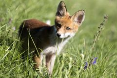 Baby Fox Stockfoto