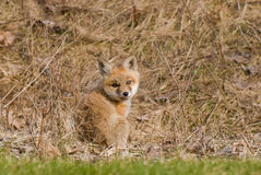 Baby Fox Stock Photo