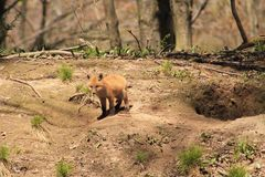 Baby Fox Royalty Free Stock Images