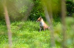 A fox cub in spring Royalty Free Stock Image