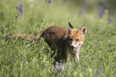 Baby fox Stock Photo