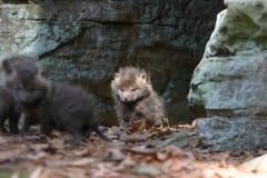 Baby fox infront of den. A baby fox defending his den Royalty Free Stock Photography