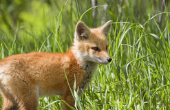 Baby fox Royalty Free Stock Photos