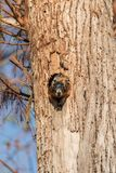Baby Fox squirrel kit Sciurus niger peers over the top of its mother in the nest stock photography