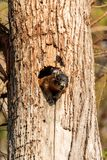 Baby Fox squirrel kit Sciurus niger peers over the top of its mother in the nest stock image