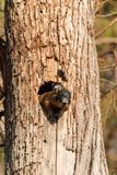 Baby Fox squirrel kit Sciurus niger peers over the top of its mother in the nest. Made from the hole in a tree in Naples, Florida royalty free stock images