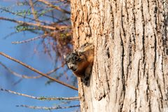Baby Fox squirrel kit Sciurus niger peers over the top of its mother in the nest royalty free stock images