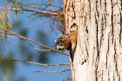 Baby Fox squirrel kit Sciurus niger peers over the top of its mother in the nest royalty free stock image