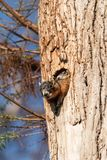 Baby Fox squirrel kit Sciurus niger peers over the top of its mother in the nest royalty free stock photography