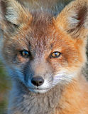 Baby Fox Royalty Free Stock Photo