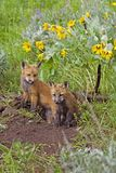 Baby Foxes At Den Site Royalty Free Stock Photography