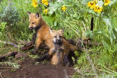 Baby Foxes At Den Site Royalty Free Stock Photo