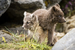 Baby foxes. In Icelandic nature Royalty Free Stock Image