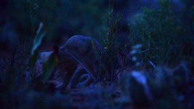 Baby foxes at night stock video footage