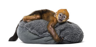 Baby Francois Langur lying on a pillow (1 month) Royalty Free Stock Image