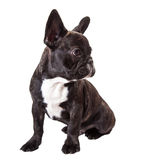Baby french bulldog Royalty Free Stock Photography