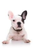 Baby french bulldog puppy standing on its front paws Stock Image