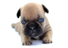 Baby french bulldog Stock Image