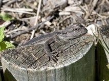 Baby Frill Neck Lizard Stock Photos